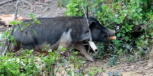 Chuyện lợn đeo gông đón tết của người Mông
