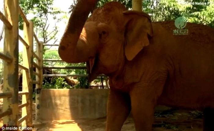 Cảm động chú voi khóc thảm thiết khi bạn thân qua đời