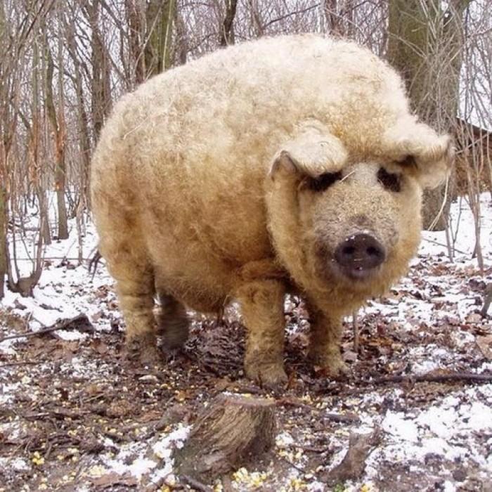 Kỳ lạ loài lợn mọc lông như cừu ở Hungary