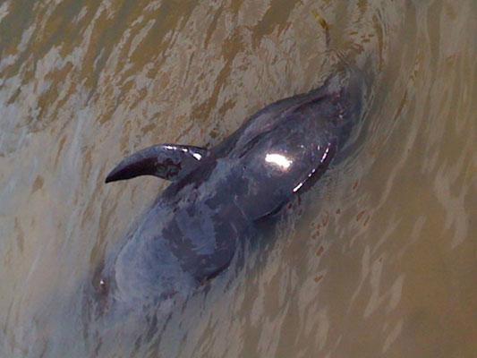 Quảng Bình: Giải cứu cá voi nặng 1,5 tạ bị mắc cạn