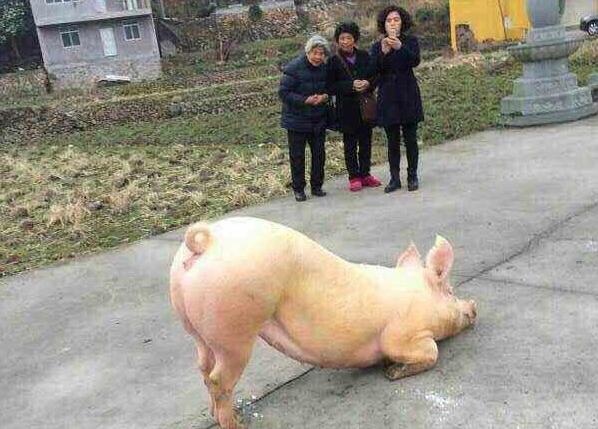 Chú lợn biết đến lễ... chùa