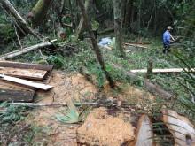 Vụ phá rừng pơmu ở Quảng Nam: Khởi tố 9 đối tượng