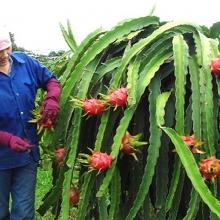Việt Nam được cấp phép xuất khẩu thanh long tươi vào Úc
