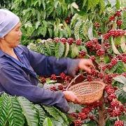 Tin tức kinh tế ngày 24/9: Giá xuất khẩu cà phê đạt mức cao nhất trong gần 3 năm