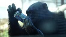 Sở thú ép đười ươi hút thuốc, uống Coca