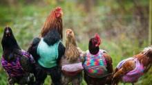 Người phụ nữ đan áo len cho… gà