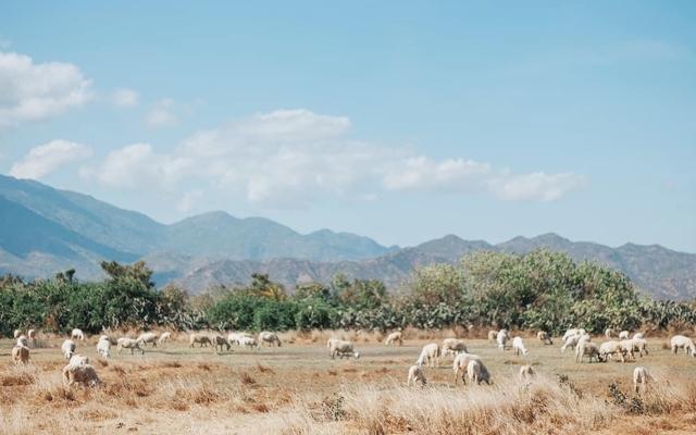 """Đồng cừu An Hòa: Điểm """"check-in"""" ấn tượng ở Ninh Thuận"""