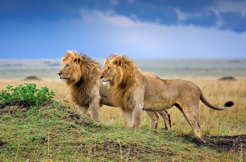 Những bức ảnh tuyệt đẹp về loài sư tử ở châu Phi