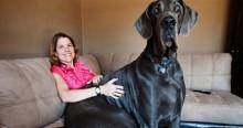 13 chú chó bự nhất thế giới