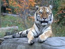Trung Quốc: Hổ ăn thịt du khách trong công viên