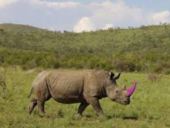 Sừng tê giác có độc