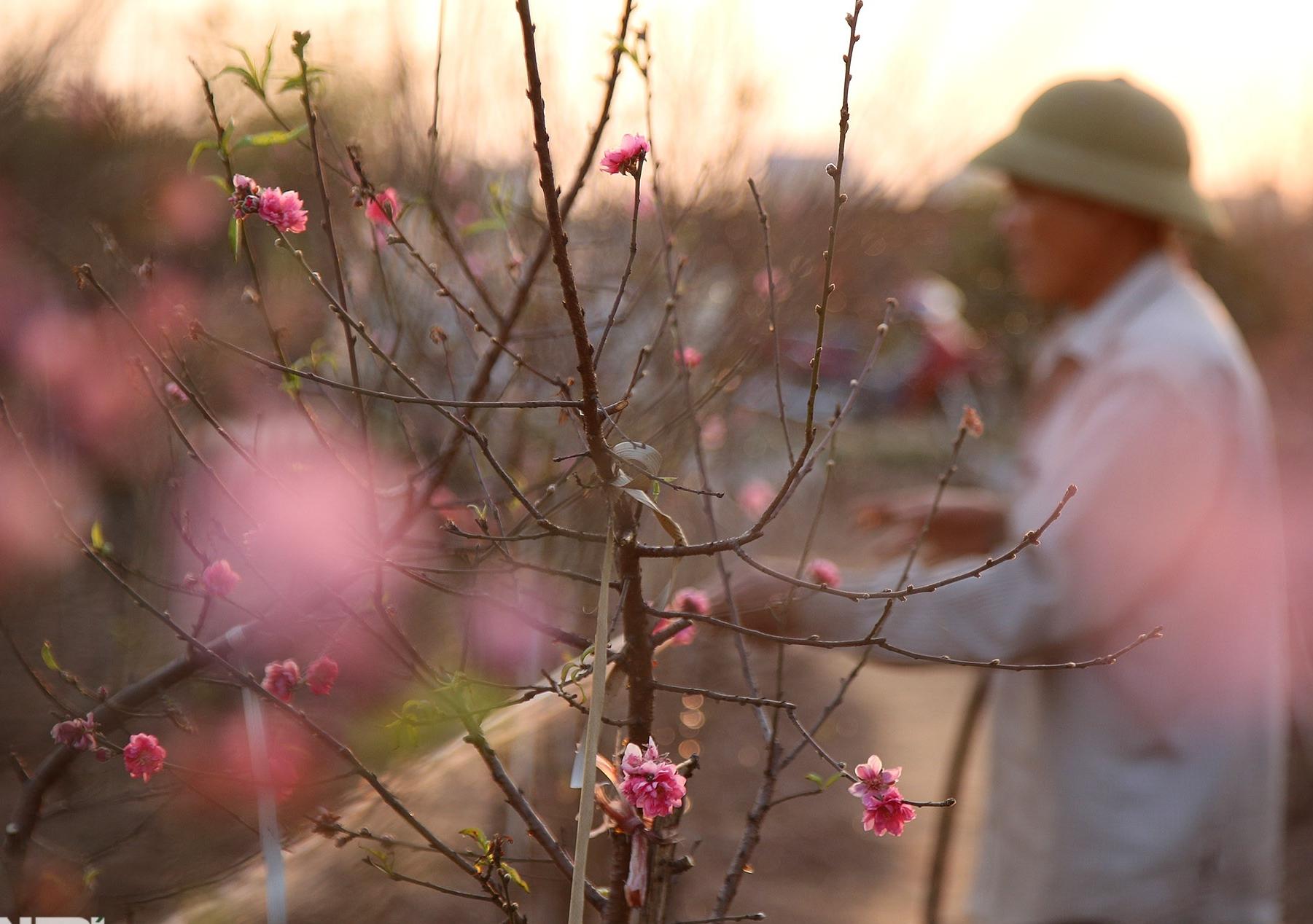 Đào Nhật Tân bắt đầu nở rộ chờ đón năm mới Tân Sửu