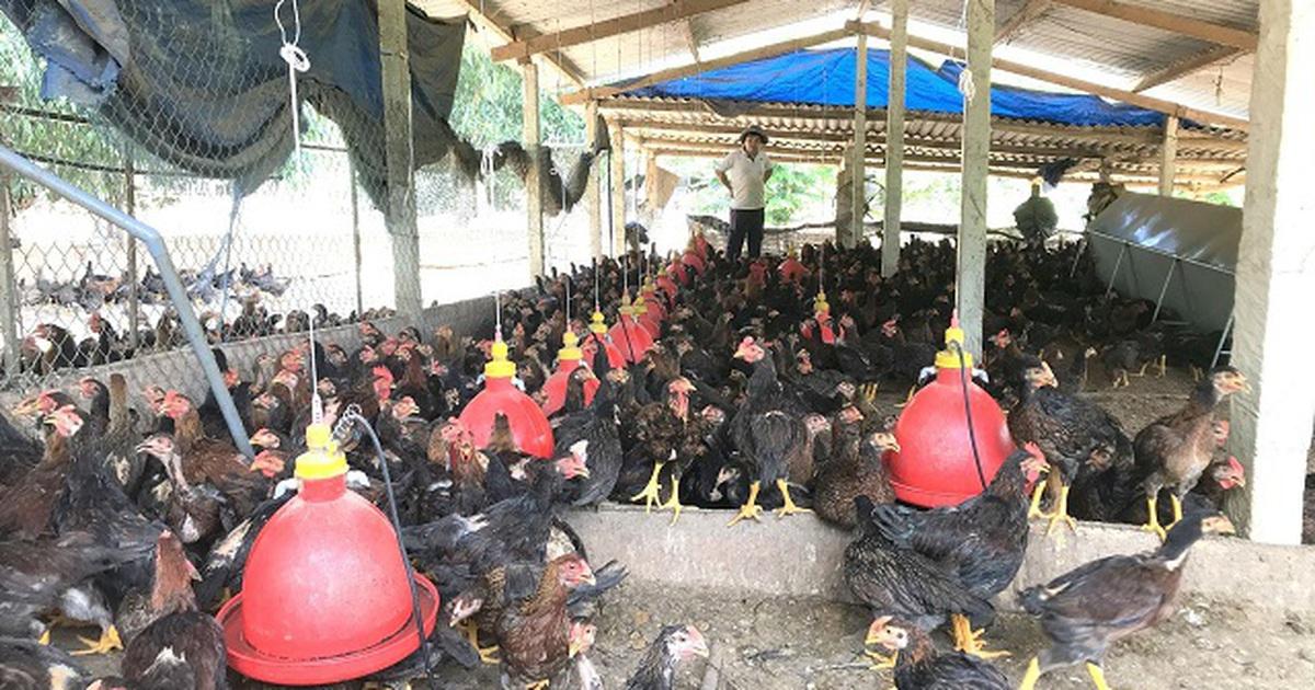 """Người chăn nuôi """"khóc ròng"""" vì tiền thức ăn tăng cao, giá bán gà """"chạm đáy"""""""