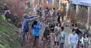 """Chính phủ ủng hộ đề xuất dán tem chứng nhận """"đào rừng"""" dân trồng"""