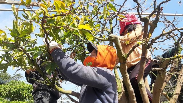 Cận cảnh vườn mai cổ thụ tiền tỷ sắp ra mắt xuân Tân Sửu - 7