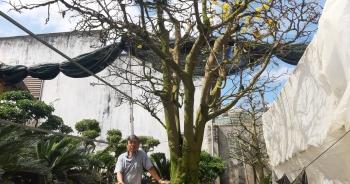 Cận cảnh vườn mai cổ thụ tiền tỷ sắp ra mắt xuân Tân Sửu