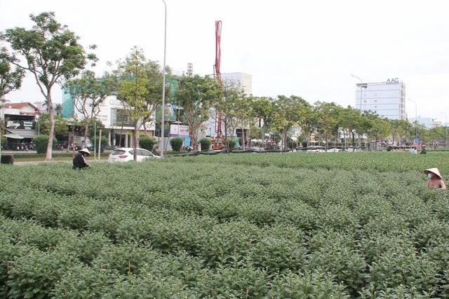 Nỗi niềm người trồng hoa Tết - 3