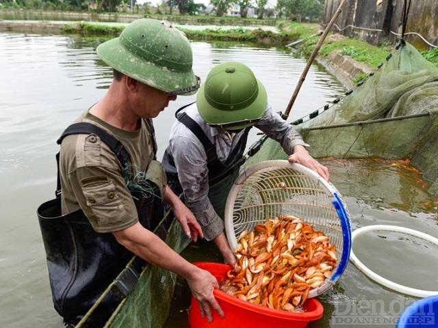 Làng nghề cá chép rộn ràng thu hoạch phục vụ Tết ông Công ông Táo
