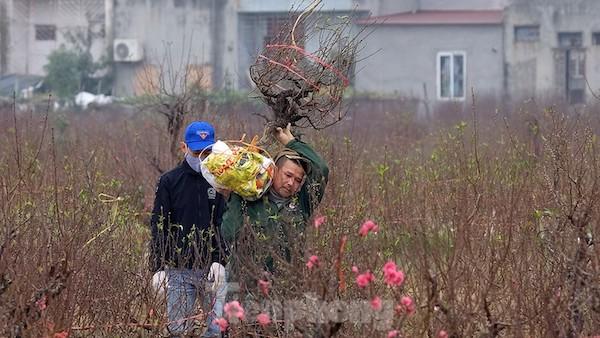 Hoa đào cũng ế ẩm ở các khu vườn của TP Hải Dương vốn đang vào dịp sôi động Tết.