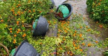 Mưa dông lớn quật đổ hàng trăm chậu quất, đào ở chợ hoa Tết