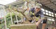 Thương lái bỏ cọc, thủ phủ mai vàng Bình Định vẫn thu về 80 tỷ đồng