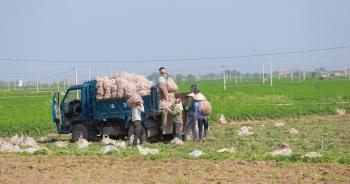 Tính hai mặt của giải cứu nông sản và những hệ lụy với xuất khẩu