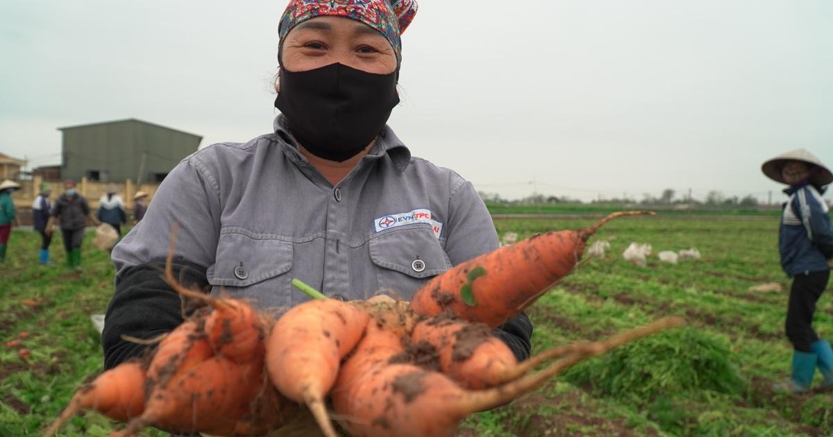 """Nông dân gấp rút """"vét"""" rau củ thu hồi vốn sau khi TP Chí Linh gỡ phong tỏa"""