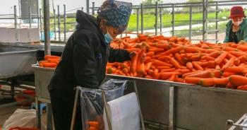 """Hải Dương: Cà rốt """"ra khơi"""", hàng ngon tăng giá sau lệnh gỡ phong tỏa"""