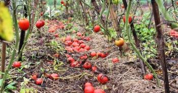 Cà chua rụng đỏ gốc, bắp cải nở bung, cho không ai lấy