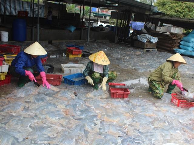 Những ngày này, nhiều lao động làm hậu cần nghề cá cũng có việc làm với mức thu nhập khá. Việc phân loại, cắt sứa và vận chuyển cũng mang lại thu nhập từ 200 - 300 ngàn đồng/người/ngày.