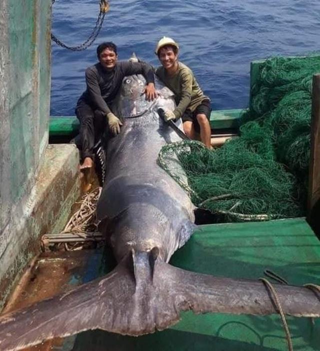 Ngư dân bắt được cá khủng nặng hơn 550 kg, bán 40 triệu đồng - 1