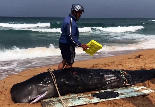 Bị thương, cá voi 4 lần được đưa ra biển vẫn dạt vào bờ… chờ chôn