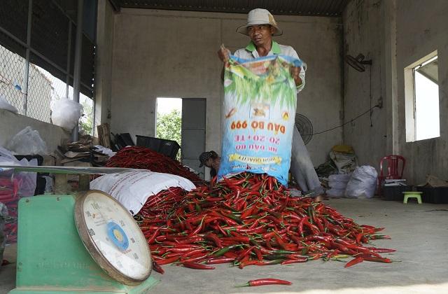 Nông dân Bình Định khóc ròng vì giá ớt tuột tận đáy - 6