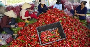 """Nông dân Bình Định """"khóc ròng"""" vì giá ớt tuột tận đáy"""