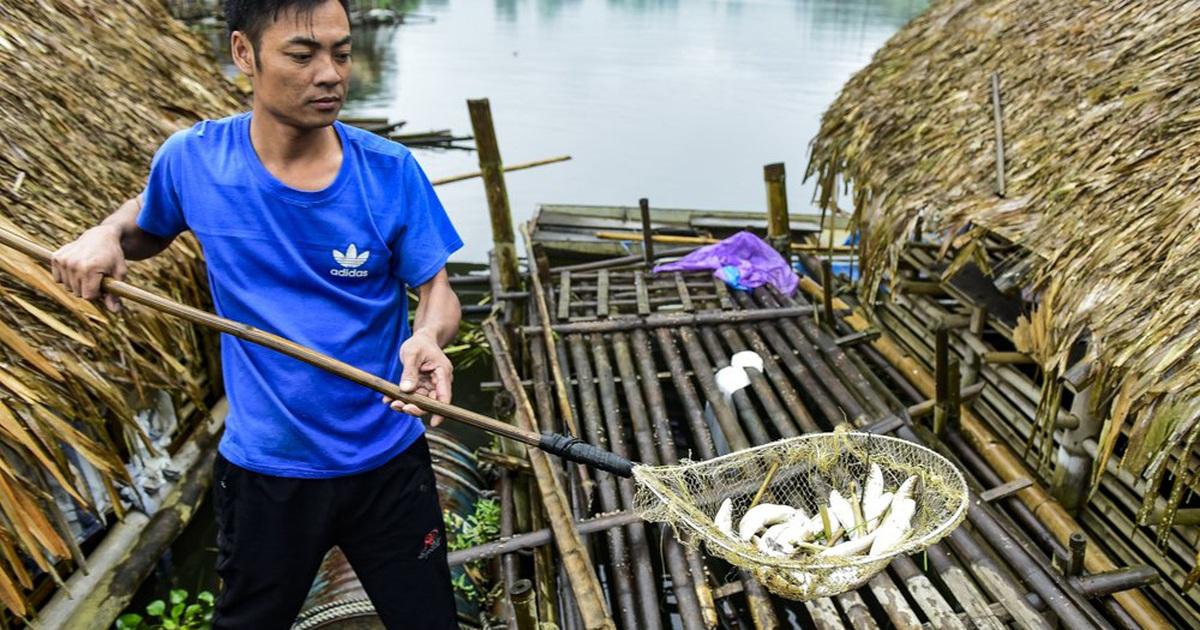 """Thủy sản chết bất thường hàng loạt, dân khốn khổ tìm nơi """"lánh nạn"""" cho cá"""