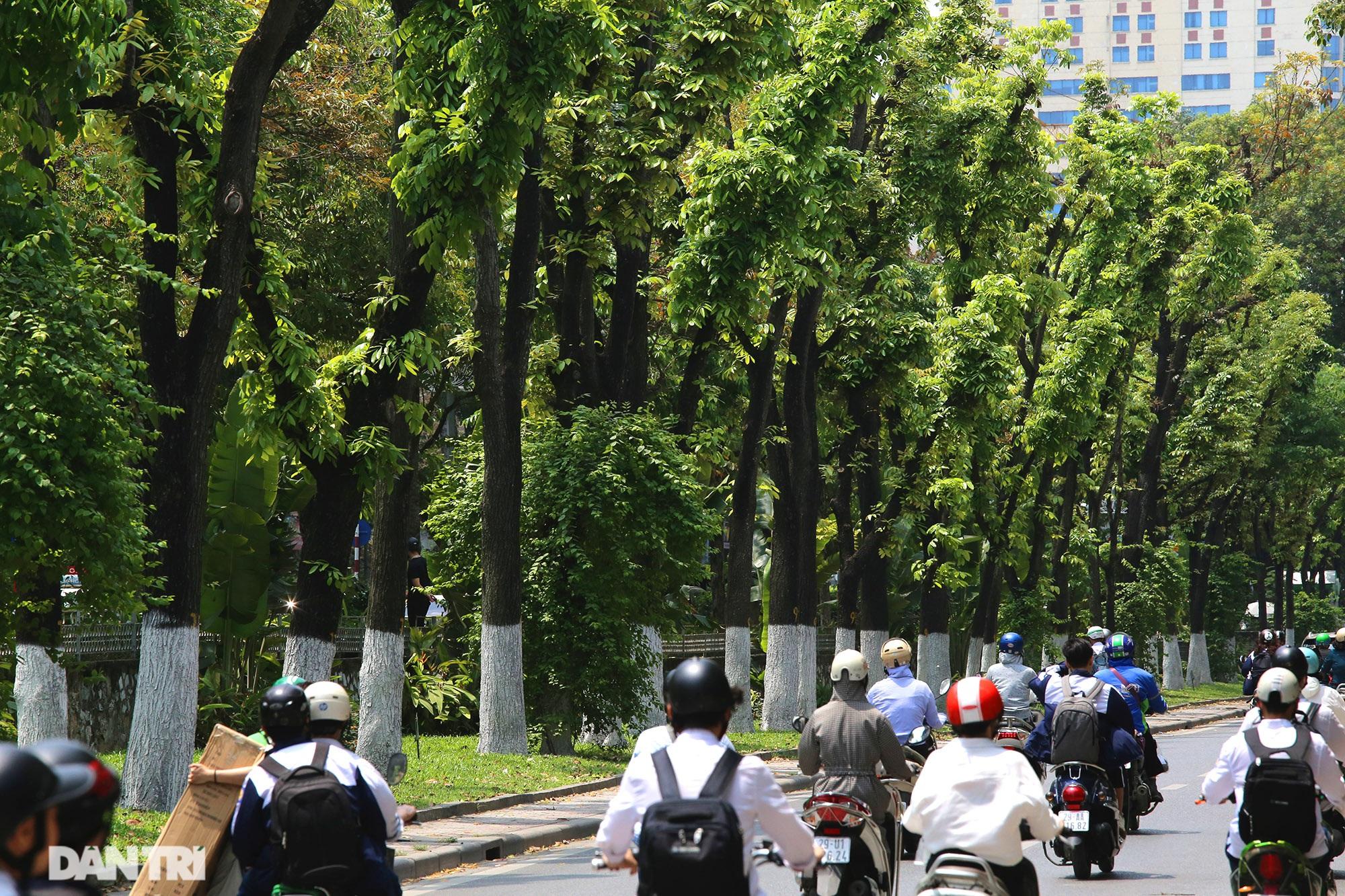 Những hàng cây xanh được quy hoạch hơn 100 năm trước ở Hà Nội giờ ra sao? - 17