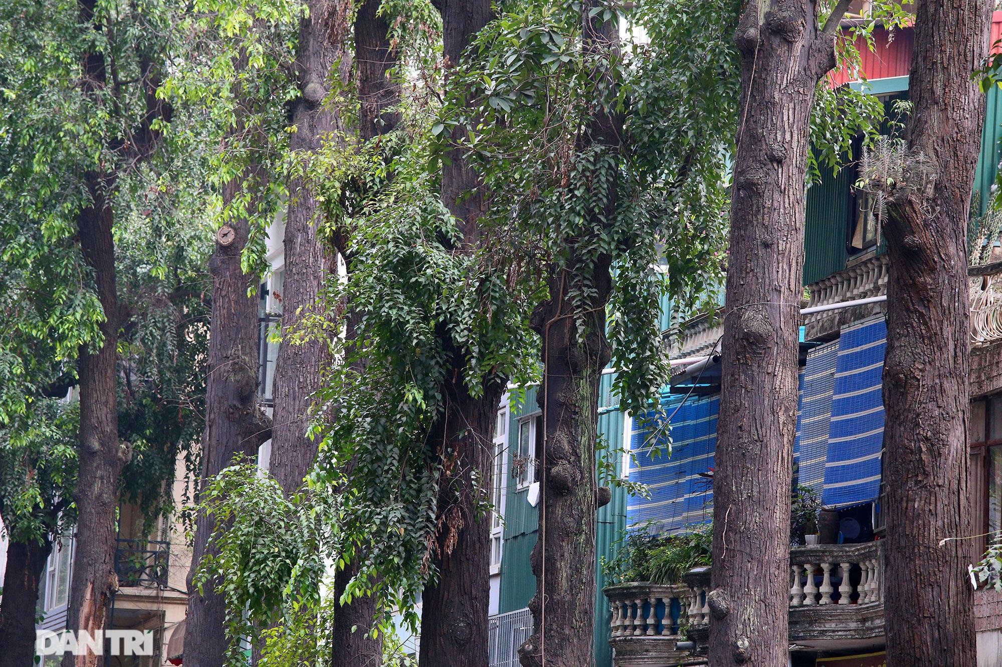 Những hàng cây xanh được quy hoạch hơn 100 năm trước ở Hà Nội giờ ra sao? - 2