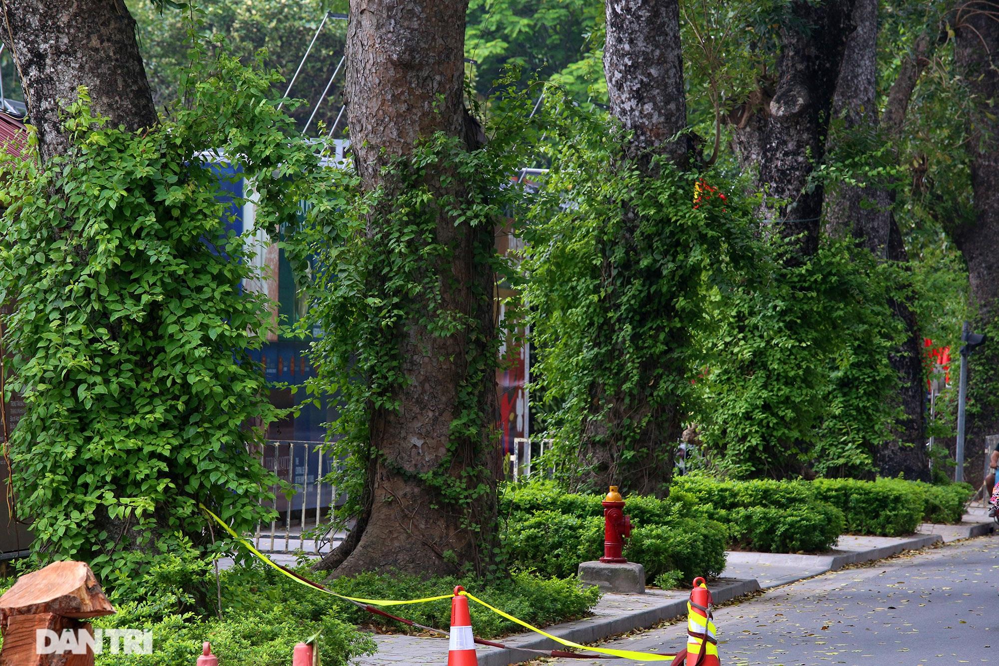 Những hàng cây xanh được quy hoạch hơn 100 năm trước ở Hà Nội giờ ra sao? - 10