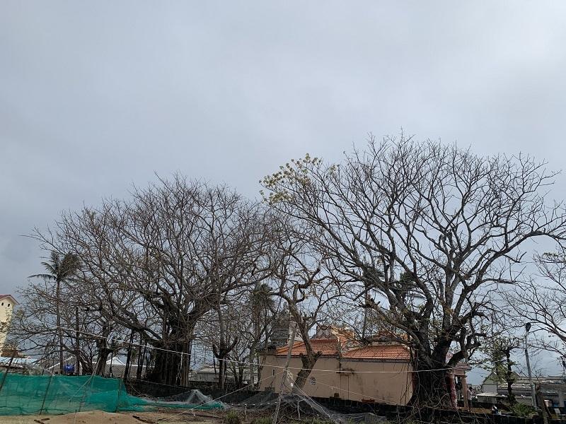 Lý Sơn: Đảo không còn xanh
