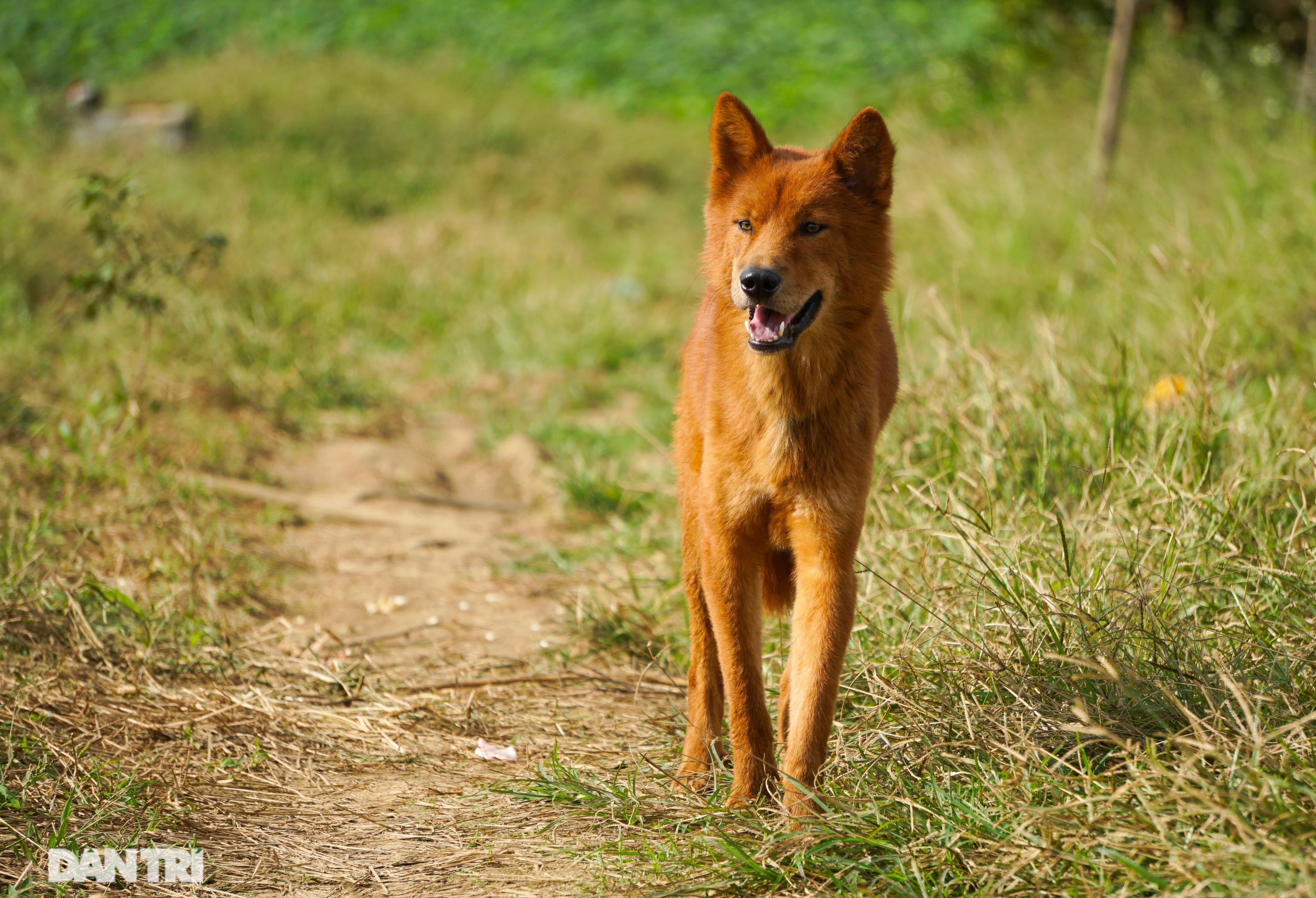 Hồi sinh giống chó săn cổ quý hiếm lừng danh đất Việt - 3