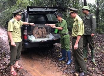 Thả 8 cá thể khỉ quý hiếm về tự nhiên