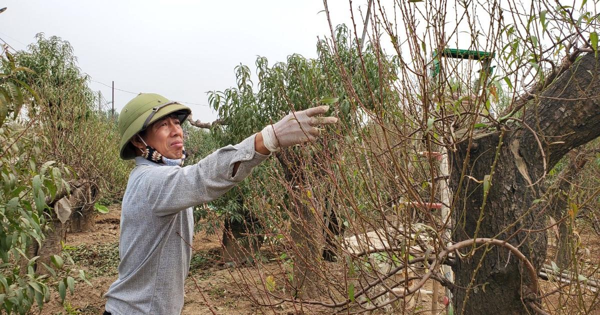 Người làm nghề trồng đào Nhật Tân lo cho vụ mùa dịp Tết Nguyên đán