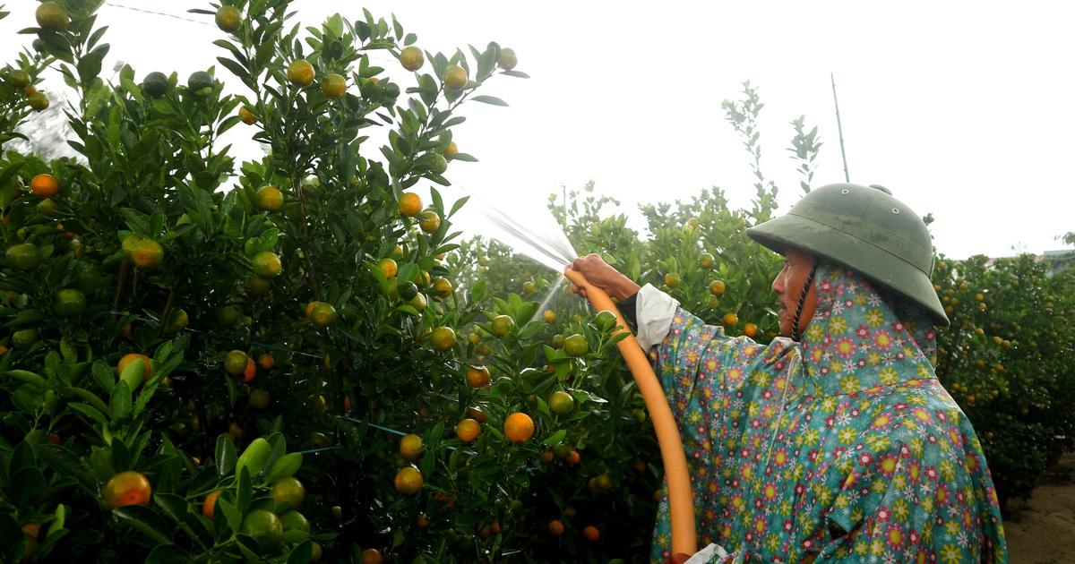 """Người trồng cây cảnh ở Hội An """"phập phồng"""" lo vụ Tết"""