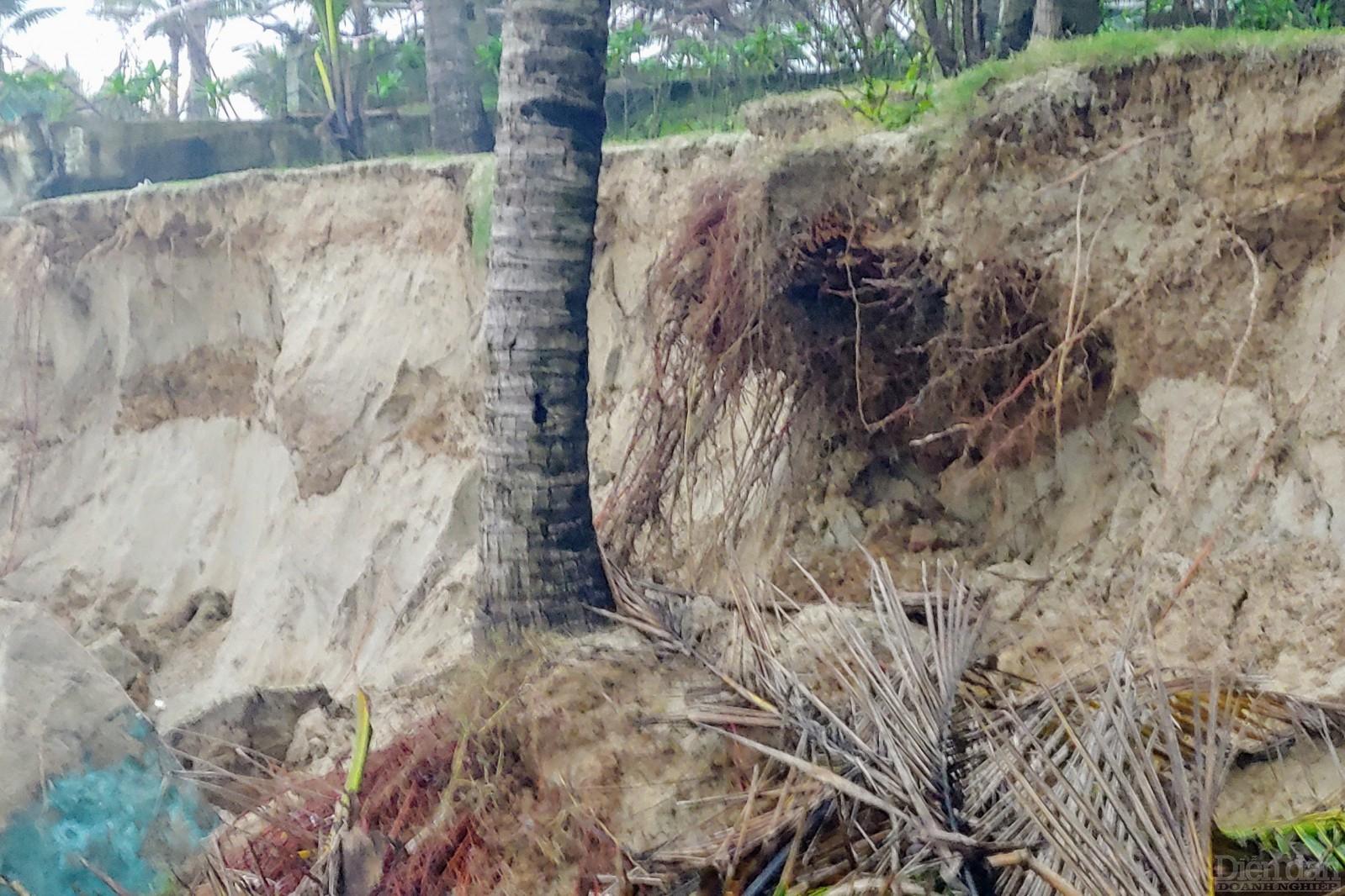 Đất bị sạt lở, hàng dừa cũng đã bị sóng làm cho ngã đổ hết.