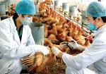 Dịch cúm gia cầm A/H5N6 bùng phát ở miền Trung