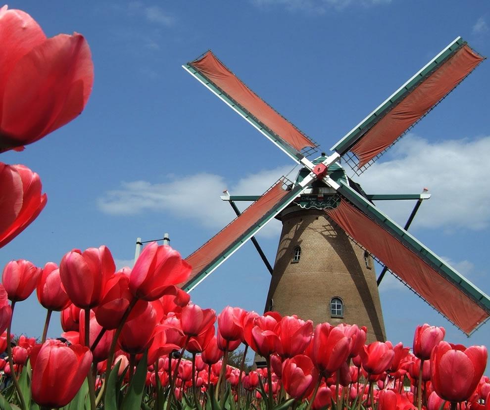 Lạc giữa cánh đồng hoa tulip