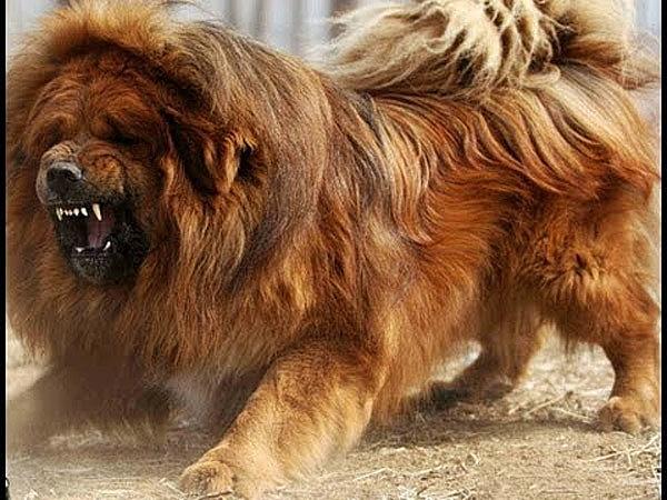 Hà Nội Bé Gái 8 Tháng Tuổi Bị Chó Ngao Tây Tạng Cắn Tử Vong