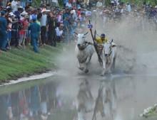 Gay cấn lễ hội đua bò núi Bảy Núi