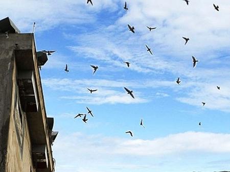 Lo cúm gia cầm, quản chặt nghề nuôi chim yến
