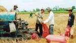 Gạo khó bán… nông dân vẫn hì hục trồng lúa!